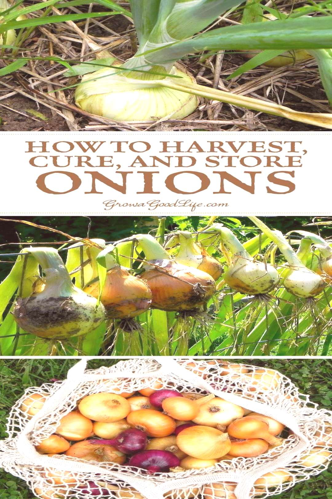 Learn when to harvest and how to cure storing onions to provide delicious flavor to winter