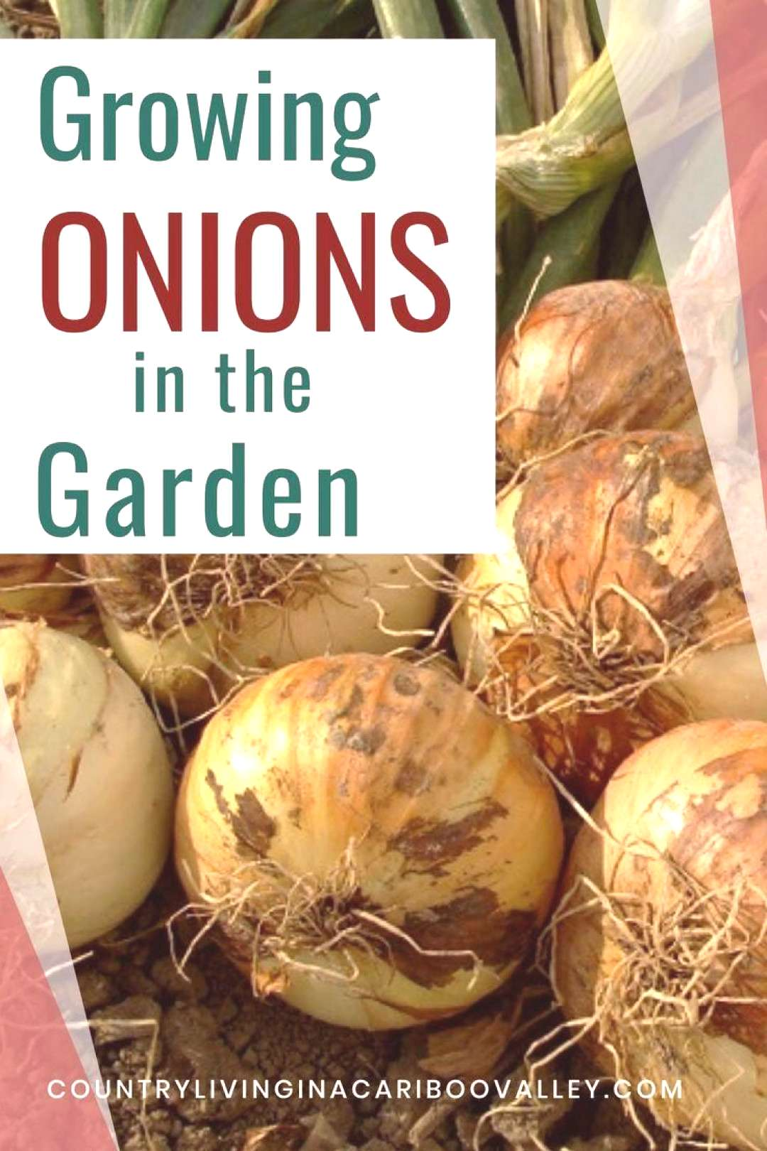 Onions are so easy to grow! Great for small gardens or containers on the patio. Heres what you