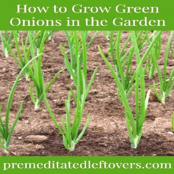 Green onions are a versatile vegetable to plant in the garden. This guide on how… - Modern,  ...