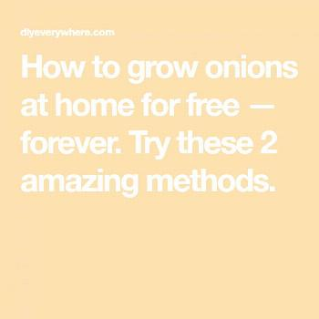 Growing Yellow Onions From Scraps _ Growing Onions From Scraps growing yellow onions from scraps |