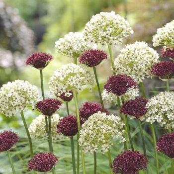 Ornamental onions ,Returns Year After Year,(Mix Allium bulbs) can be planted indoors in containers