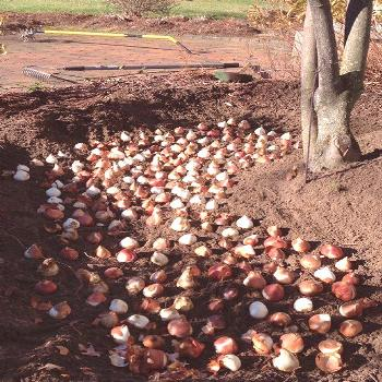 Quick and easy digging for autumn onions, for ...#autumn