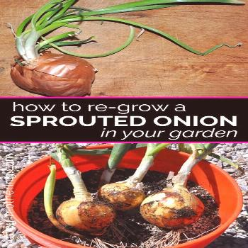 Wondering what to click for more ... Wondering what to do with that sprouted onion in your produce