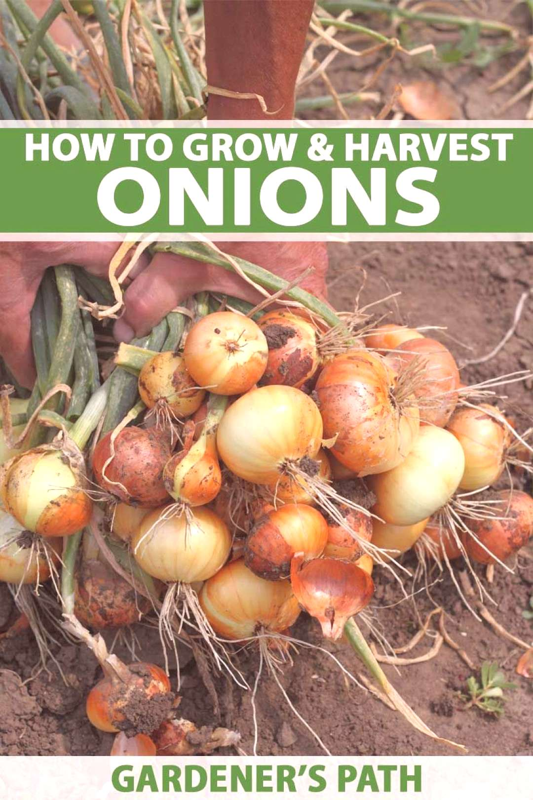 Do you love onions in your stew pot? Love cooking with these savory bulbs? If so, try growing them
