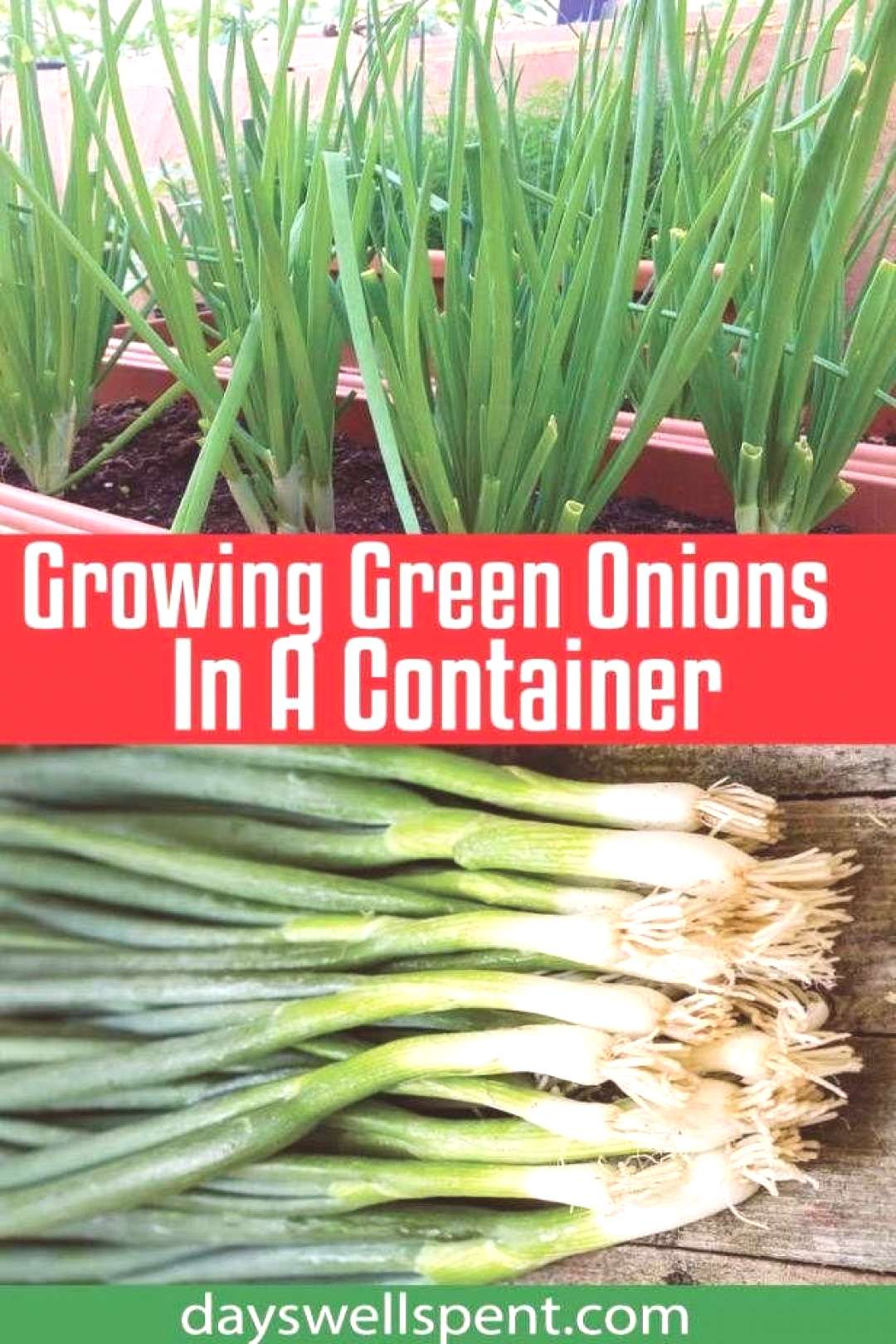 Growing green onions in a container is easy, doesnt require much room and they can be grown year-r