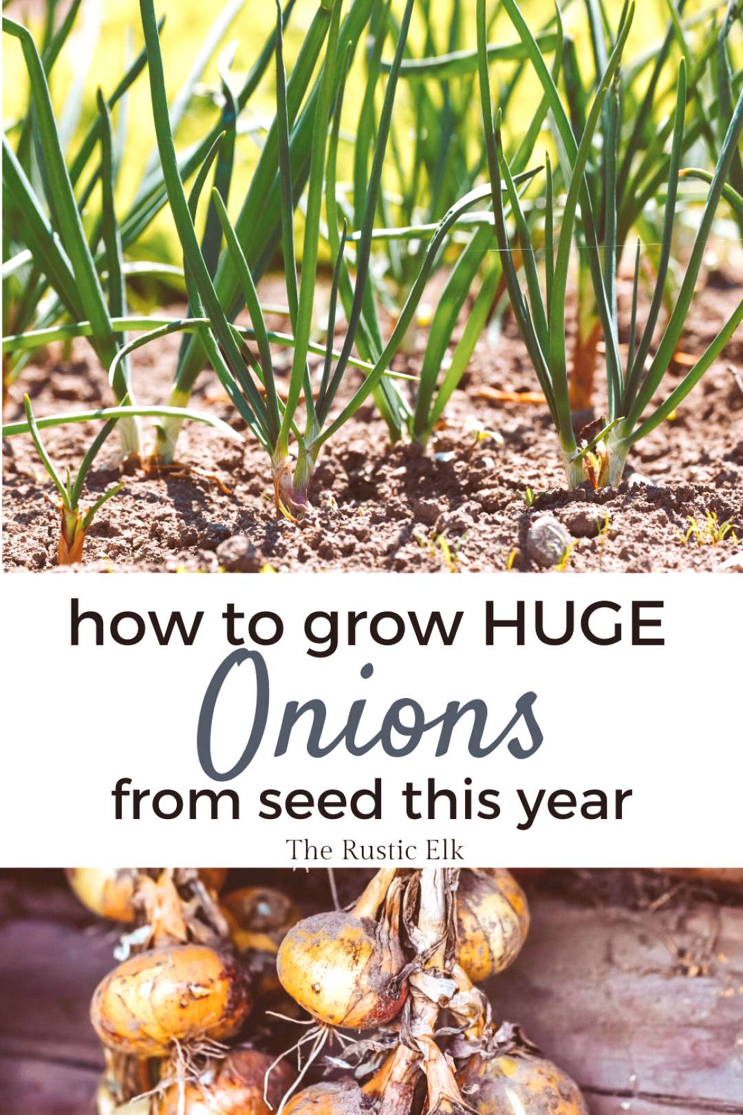 How to Successfully Grow HUGE Onions from Seed Never had luck growing onions from seed? This guide